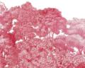 bellewood crimson